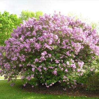 Leylak (Syringa vulgaris)