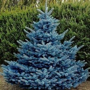 Mavi ladin (Picea pungens)