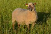 Vendeen Koyunu Yetiştiriciliği Ve Irk Özellikleri