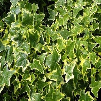 Orman Sarmaşığı (Hedera canariensis)