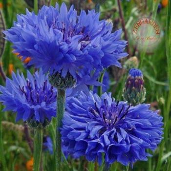 Peygamber Çiçeği (Centaurea Cyanus)