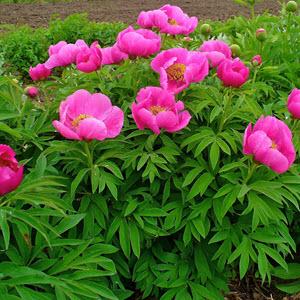 Şakayık (Paeonia Officinalis)