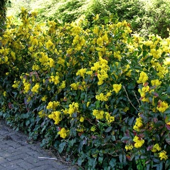 Sarı Boya (Mahonia aquifolium)