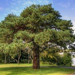 Sarıçam (Pinus Sylvestris)