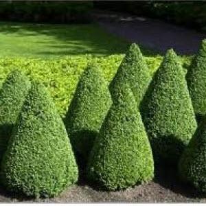 Şimşir (Buxus sempervirens)