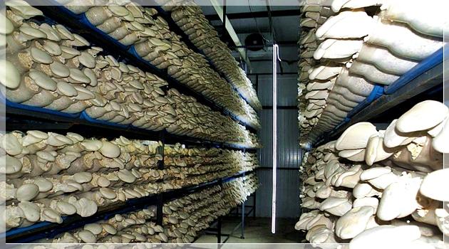 Şişe Kültüründe İstiridye Mantarı Üretimi