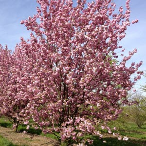 Süs Kirazı (Prunus serrulata)