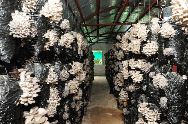 Torbada istiridye mantarı üretimi