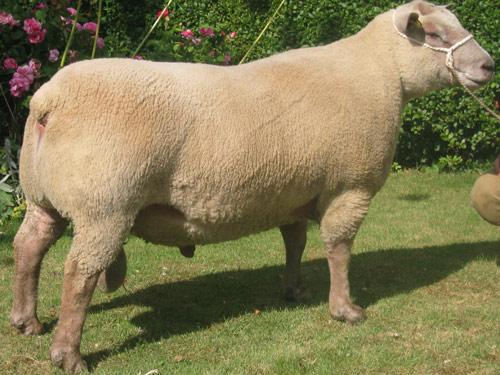 Vendeen-Sheep
