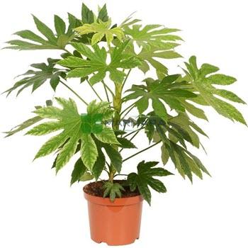 Aralya (Fatsia japonica)