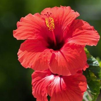 Çin gülü - Japon gülü (Hibiscus rosa-sinensis)