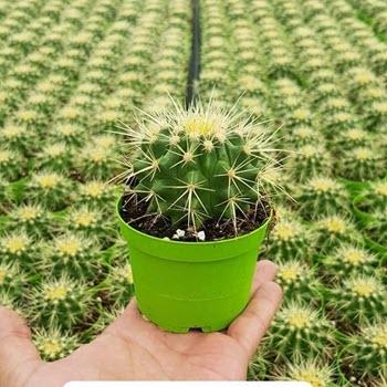 Kaktüsler (Cactus sp.)