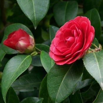 Kamelya (Camellia japonica)