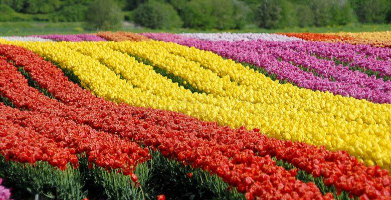 Kesme Çiçek Yetiştiriciliği Ve Kesme Çiçek Türleri