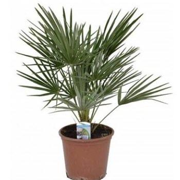 Meksika Palmiyesi (Washingtonia robusta)