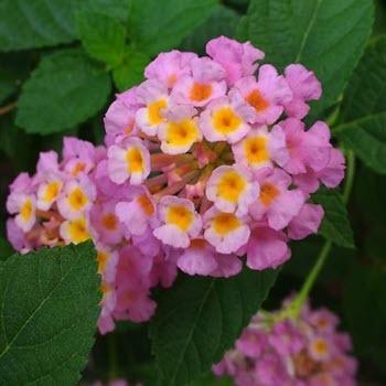 Mine Çiçeği (Verbena officinalis)