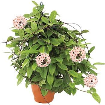 Mum çiçeği (Hoya carnosa)