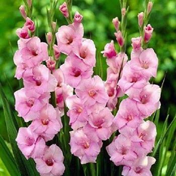 Glayöl (Gladiolus spp.)
