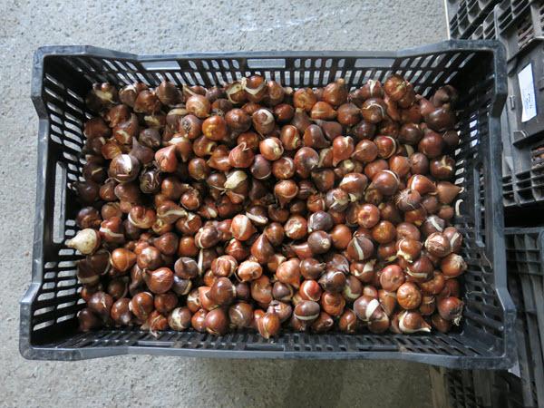Lale soğanları