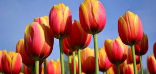 Kesme Çiçek Lale Ve Lale Soğanı Yetiştiriciliği