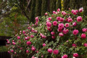 Meilland Gülleri Yetiştiriciliği Ve Formları