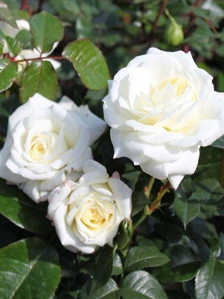 Meilland (Rosa laxa)