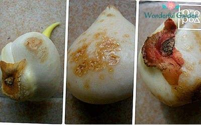 Beyaz Çürüklük / Sclerotium tuliparium