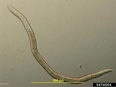Ditylenchus dipsaci mikroskop görüntüsü