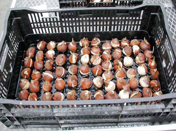 Lale soğanlarının depolanması