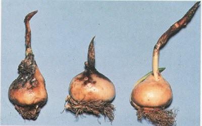 Kök Çürüklüğü / Rhizoctonia tuliparum